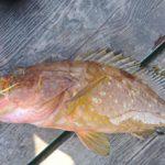 キジハタはワームで釣るべし!おすすめワーム・カラー・リグをご紹介!その他ハタ類も狙っちゃおう!