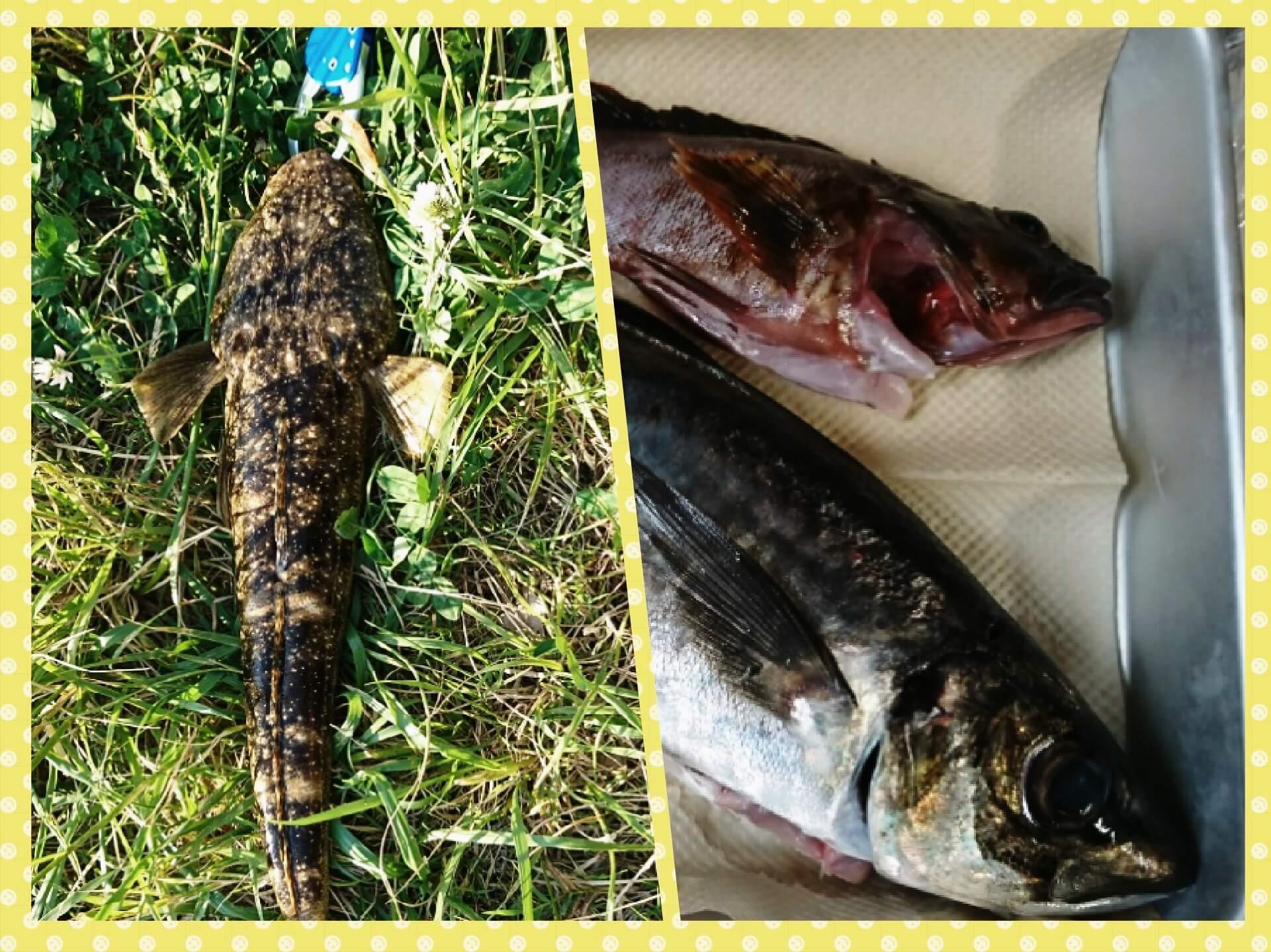 久美浜釣果 マゴチがワームでヒット!尺アジがメタルバイブで…!